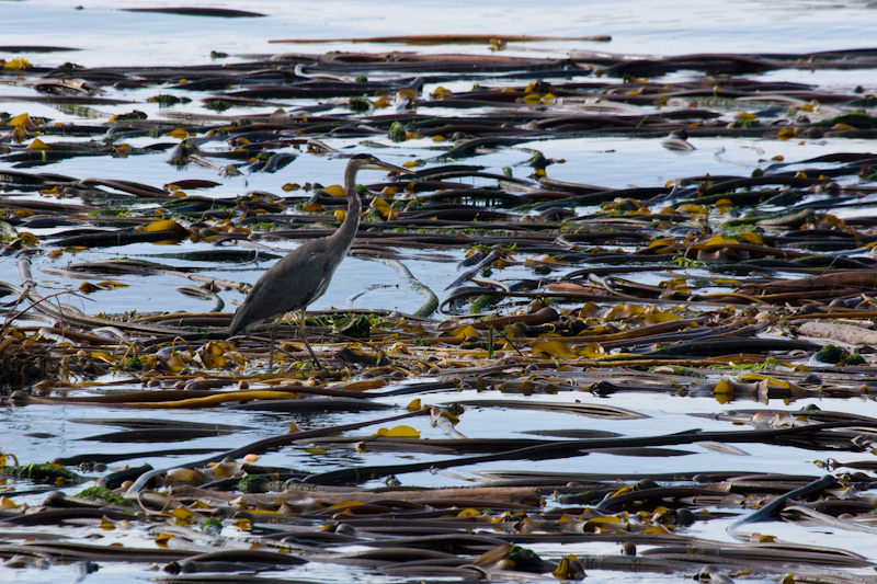 Great Blue Heron On Kelp